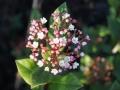 Woerden, beplanting moderne tuin, Viburnum tinus