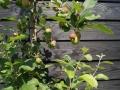 tuinontwerp met zwarte schutting - tuinarchitect regio Utrecht