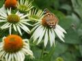 tuin bij dijkwoning - Echinacea purpurea Alba