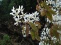 tuin bij dijkwoning - krentenboom