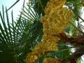 tuinontwerp met winterharde palmboom Trachycarpus