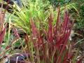 Japans bloedgras - Imperatum cylindricum