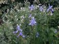 beplantingsplan met Iris en Geranium