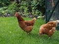 romantische tuin met kippen