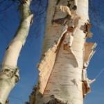 Betula papyrifera - tuinkalender november - Vicas Tuinontwerpen
