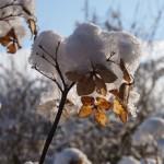 hortensia met sneeuw - tuinkalender januari