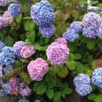 tuinkalender maart - boerenhortensia snoeien