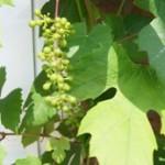 Snoei druiven - tuinkalender juni - foto Vicas Tuinontwerpen