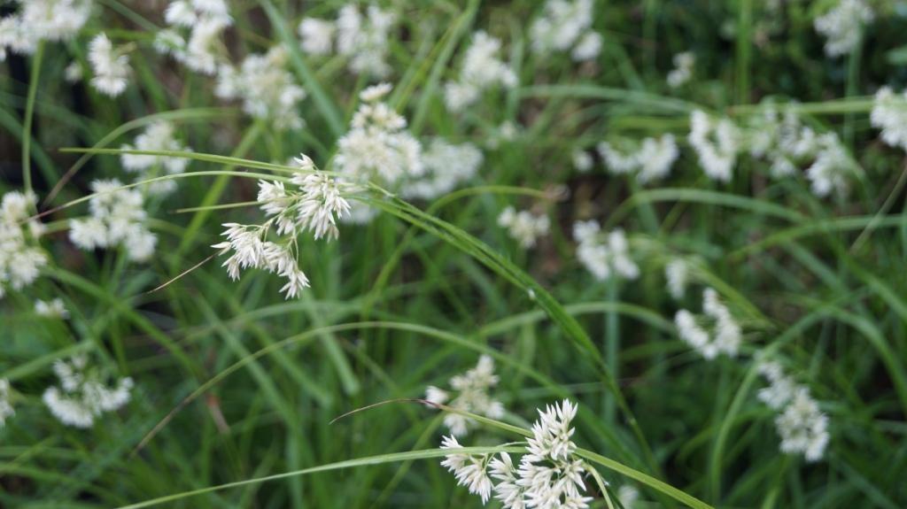Beplantingsplan met Luzula nivea