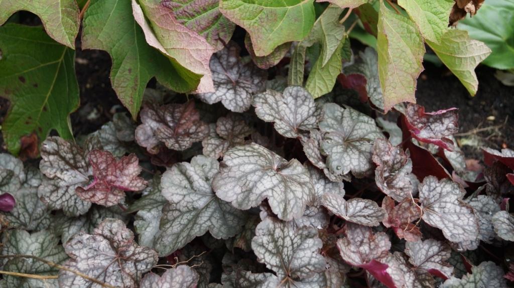 beplantingsplan eikebladhortensia