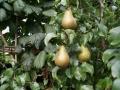 tuin met perenboom Woerden Utrecht