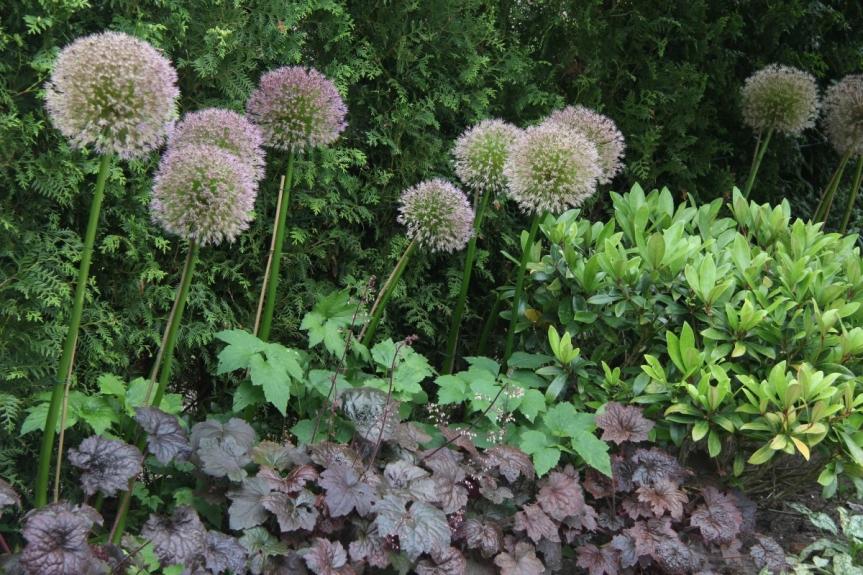 plantencombinatie met Allium en Heuchera - tuinarchitect