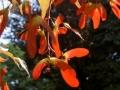 esdoornvleugeltjes in de herfst - foto Vicas