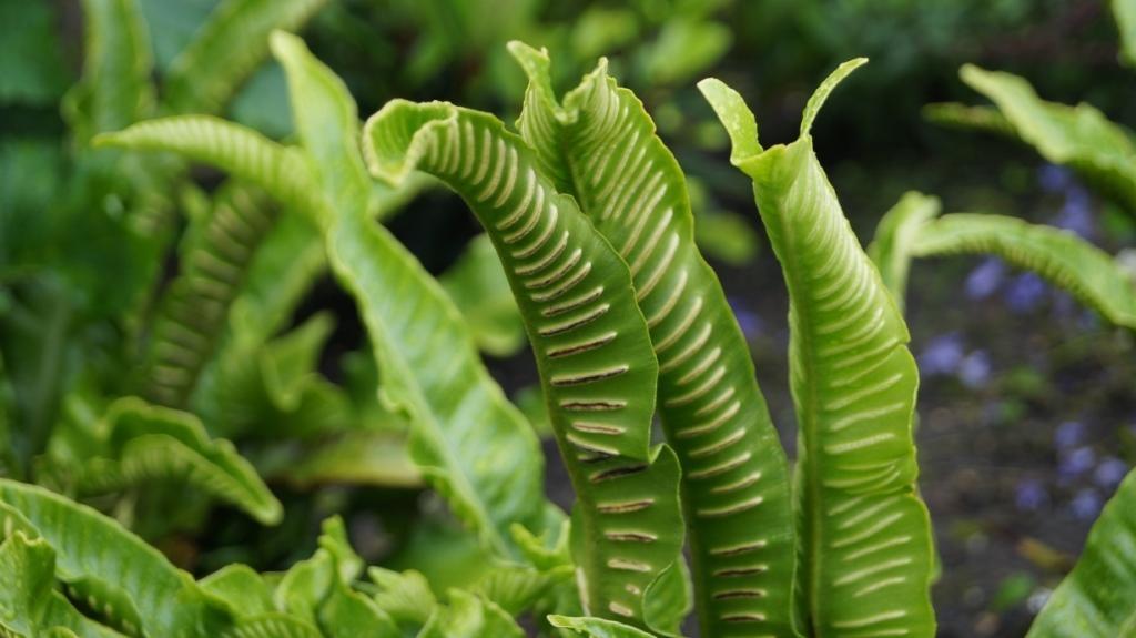 Asplenium tongvaren beplantingsplan