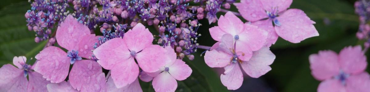 Hydrangea macrophylla - Nieuws Vicas Tuinontwerpen