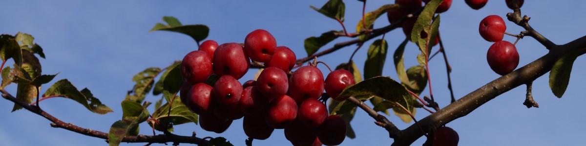Malus Red Sentinel - tuinkalender december - Vicas Tuinontwerpen
