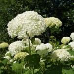 tuinkalender maart - Hortensia 'Annabelle' snoeien