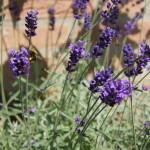 tuinkalender maart - lavendel snoeien - Vicas Tuinontwerpen