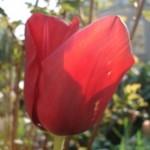 Tulpen laten afsterven - tuinkalender april - foto Vicas Tuinontwerpen