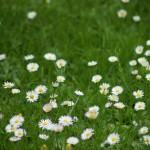 grasveld met madeliefjes - tuinkalender juni - foto Vicas Tuinontwerpen