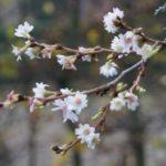 Prunus subhirtella autumnalis - tuinkalender januari - Vicas Tuinontwerpen