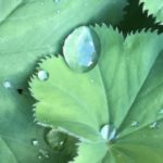 Alchemilla mollis - vrouwenmantel - tuinkalender Vicas Tuinontwerpen