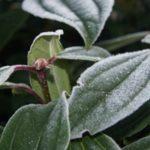 Viburnum davidii - tuinkalender Vicas Tuinontwerpen
