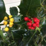hulst - Ilex aquifolium - tuinkalender Vicas Tuinontwerpen
