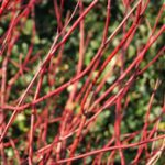 tuinkalender december - foto Vicas Tuinontwerpen - Cornus alba 'Sibirica'