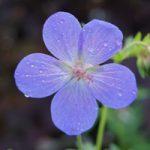 tuinkalender juni - Geranium 'Johnson Blue'- foto Vicas Tuinontwerpen