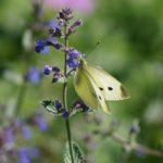 tuinkalender juli - tweede bloei