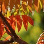 Rhus glabra - tuinkalender oktober
